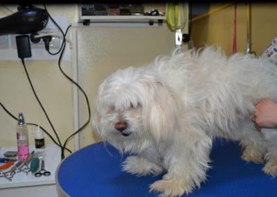 frizerie canina in Navodari - CertoVet.ro 004